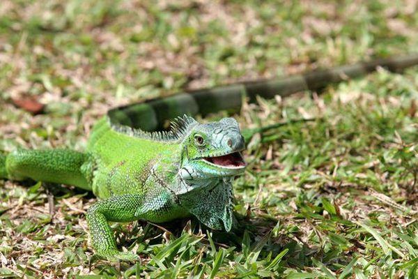 Iguane américain