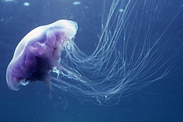 alerte méduses moorea