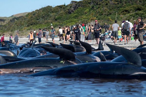 baleines echouées risque explosion