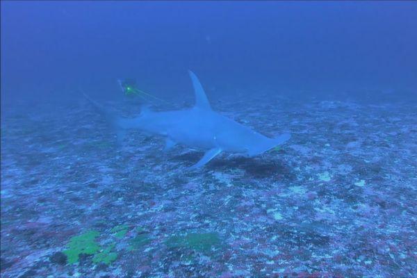Requin marteau à Rangiroa