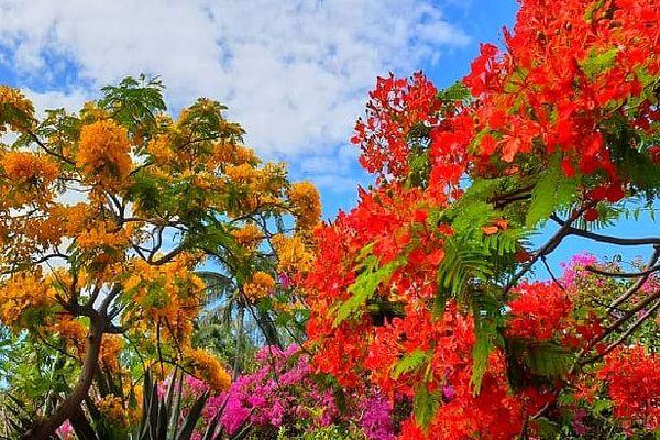 Flamboyants jaune et rouge
