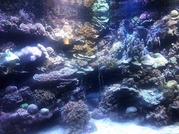 Ponte des coraux 2019 à l'aquarium