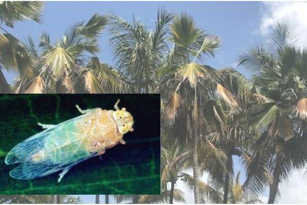 Détection du phytoplasme responsable du jaunissement mortel du palmier en Guadeloupe - juin 2021
