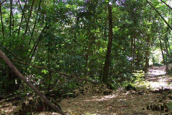 Forêt de Cacao en Guyane