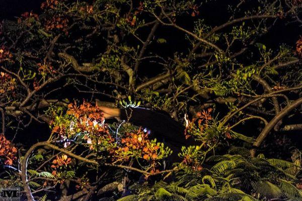 Flamboyant by night