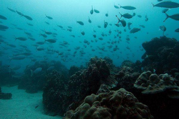 corail Porites Lobata