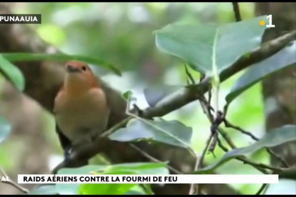 Environnement : opération sauvetage du monarque de Tahiti
