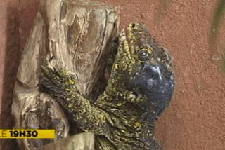 Gecko géant du Parc zoologique et forestier de Nouméa
