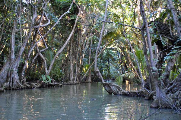 Mangrove Guadeloupe