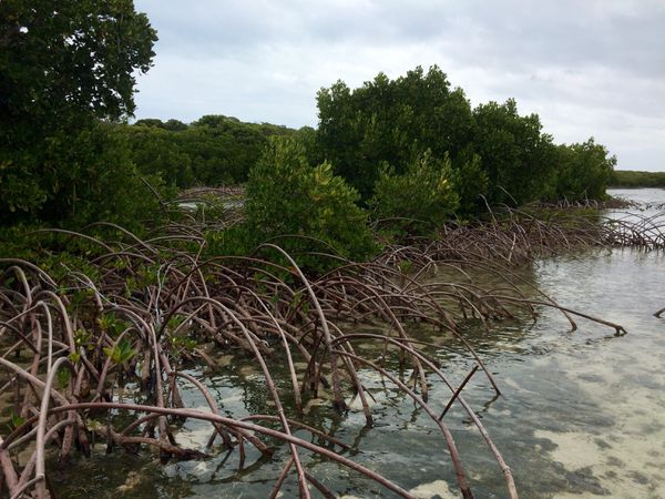 Ouvéa mangrove