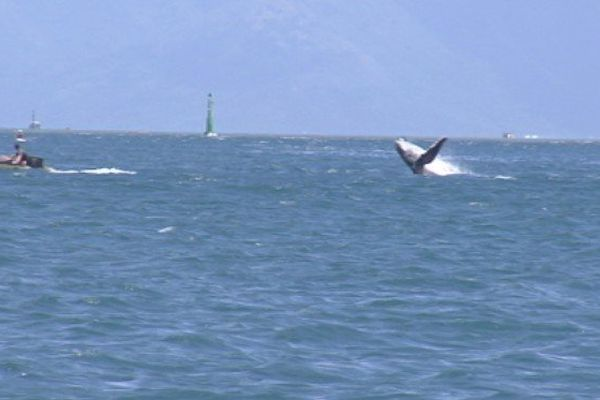 Baleines dans la rade de Papeete