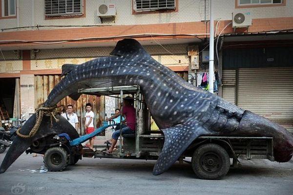 Chine requin baleine
