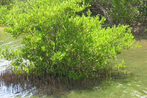Mangrove en Martinique