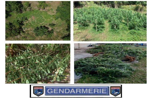 2 898 plants de pakalolo saisis à Huahine