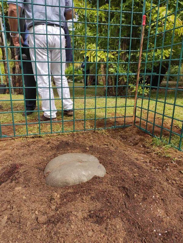 Une graine de coco fesse de six kilos  plantée au parc des palmiers, un jardin de 10 hectares situé au Tampon. Un projet de la mairie et de l'association Palmeraie-Union
