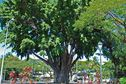 Le banian de Tarahoi, un arbre historique