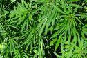 Acheter légalement du cannabis en Uruguay, c'est possible dès mardi