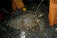 Des tortues olivâtres prises accidentellement dans les filets des pêcheurs, au large de Cayenne et de Rémire-Montjoly.
