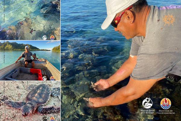 Moorea : 241 bébés tortues relâchés dans l'océan