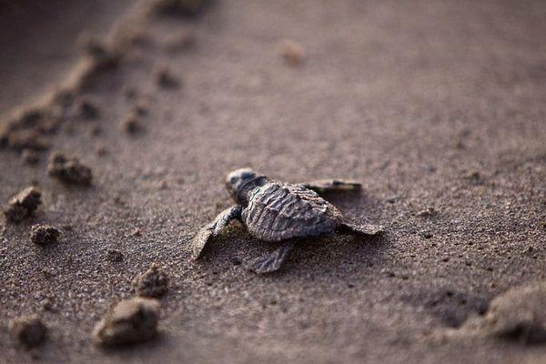 Lâché de bébés tortues à Tetiaroa