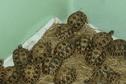 170 tortues étoilées de Madagascar saisies par les douaniers de Roissy