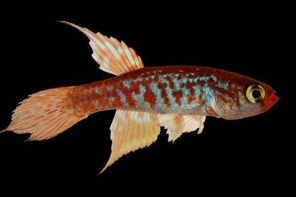 poisson nouvelle espèce Amazonie