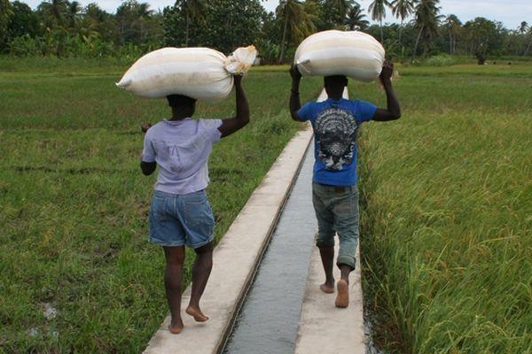 Pas de gros moyens pour le transport du riz!