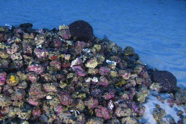 Le récif corallien de l'Amazone.