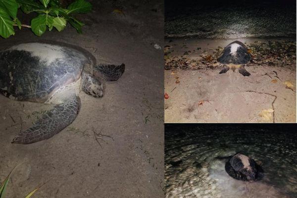 Une tortue verte pond ses oeufs sur une plage d'un motu à Moorea