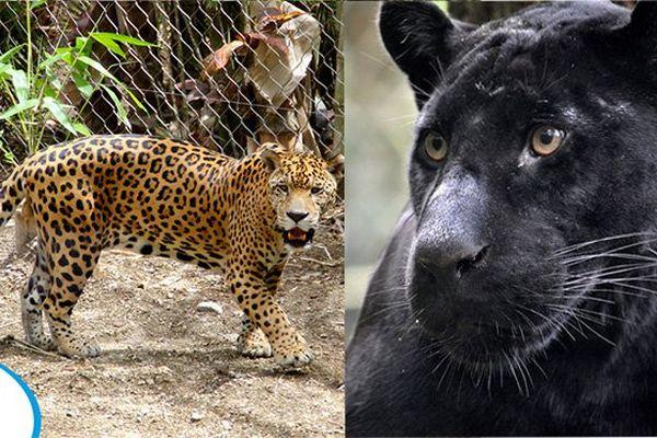 Jaguars au Zoo de Martinique
