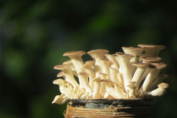 champignon pleurotes