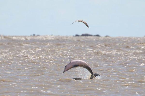 Dauphins de Guyane