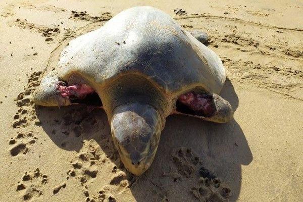 Attaques de tortues marines