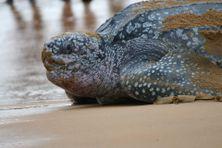 Une tortue luth retourne à la mer au petit matin sur une plage de Montjoly