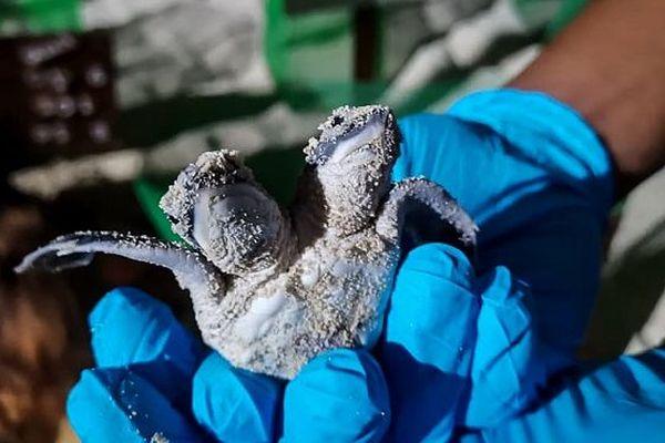 Une tortue à deux têtes découverte en Malaisie