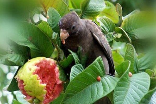 Perroquet noir seychelles