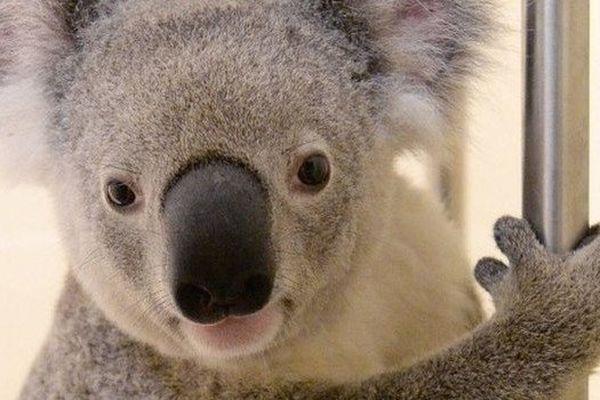timberwolf le koala