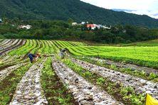 Des champs de salades qui s'étendent sur un hectare et un constat: les pluies ont détruit la moitié de la production de Jean-Hugues Picard.