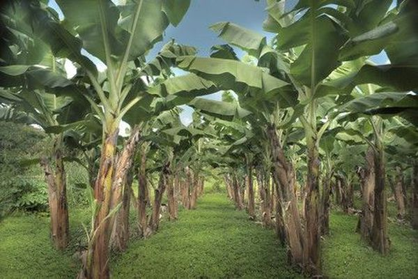 champs de banane