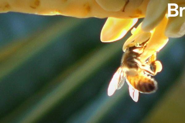 La distanciation sociale, ça existe aussi chez les abeilles