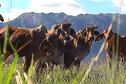 Des hormones de croissance seraient présentes dans la viande locale