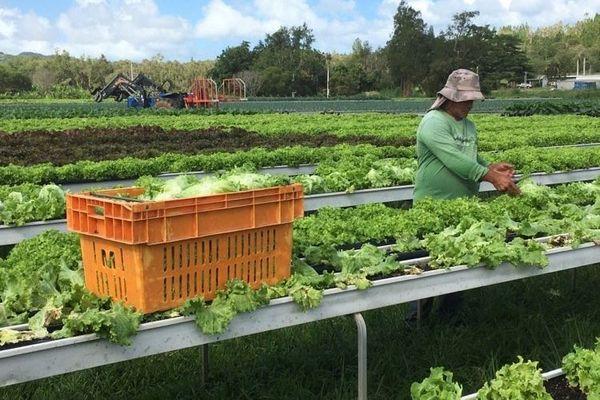 Producteur salades agriculture