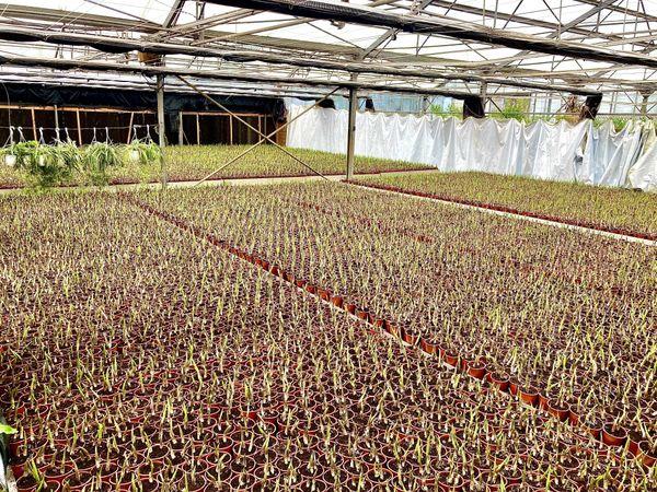 muguets 25 000 plants