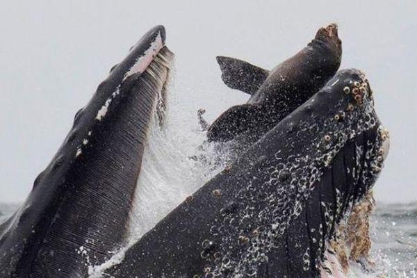 lion de mer dans la gueule d'une baleine