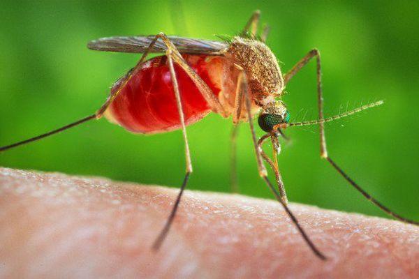 Un moustique vecteur de paludisme pour la première fois détecté en Calédonie