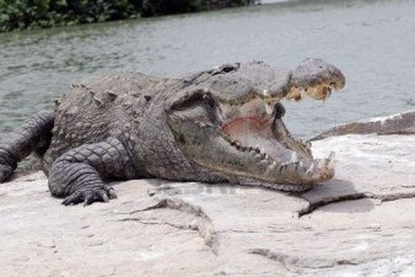 crocodile geant