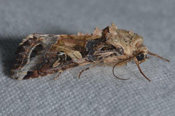 """Le papillon """"Spodoptera frugiperda"""""""