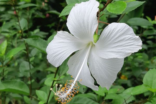 Fleur, hibiscus blanc