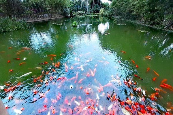 Bassin carpes Koï Jardin botanique Deshaies