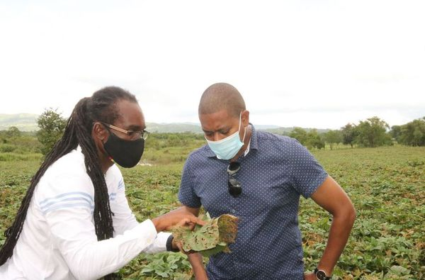 Jamaïque récoltes detruites